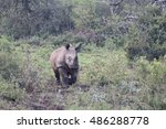 Small photo of White rhinoceros, Diceros simus, single young mammal, South Africa, August 2016