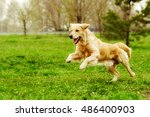 Beautiful Happy Dog Golden...