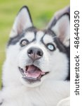 Small photo of funny dog breed Siberian husky. crony portrait, concept of friendliness. funny emotions. selective focus on dogs nose