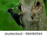 woodpecker with chick in the... | Shutterstock . vector #486484564