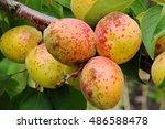 Abundant Apricots Ripen On A...