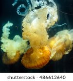 Small photo of Sea nettle jellyfish (Chrysaora hyoscella) adrift in deep water