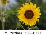 A Common Sunflower  Helianthus...