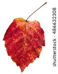 Small photo of red autumn leaf of ash-leaved maple tree (Acer negundo, Box elder, boxelder maple, ash-leaved maple, maple ash) isolated on white background