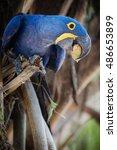 Hyacinth Macaw On A Palm Tree...