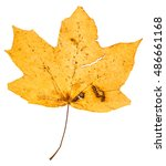 Small photo of yellow fallen leaf of maple tree (Acer platanoides, Norway maple) isolated on white background