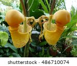 Coryanthes Macrantha Is An...