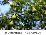 Little Green Pears On The...