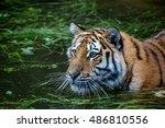 tiger | Shutterstock . vector #486810556