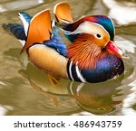 Rainbow of Metallic Plumage Colors on a Mandarin Duck Swimming in a Rippling Pond