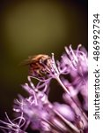 Small photo of Bee collecting nectar on purple alum garlic flower. macro close-up