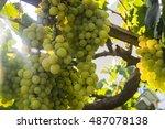 Picture Of Ripe White Grape...