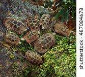 Large Group Of Tortoises Eatin...