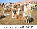 Curious Llamas Herd On The...