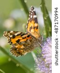 Small photo of Vanessa cardui butterfly aka the painted lady aka the cosmopolitan.
