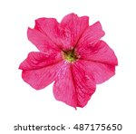 Red Petunia Flower Isolated On...