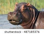The Common Hippopotamus ...