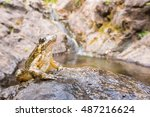 Small photo of Mediterranean painted frog over a pond (Discoglossus pictus), Alytidae. Corsica. France.
