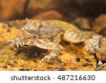 Small photo of Mediterranean painted frog in the water (Discoglossus pictus), Alytidae. Corsica. France.