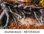Bent Tree Roots Exposed Above...