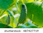 Young Fresh Cucumber Growing In ...