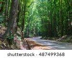 lines of tall green mahogany...   Shutterstock . vector #487499368