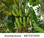Bananas Raw With A Bunch...