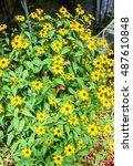 Rudbeckia Triloba Yellow...