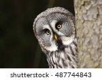 Stock photo great grey owl also tawny vulture science strix nebulosa is a large owl family of owls 487744843