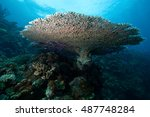Small photo of The staghorn coral or Acropora divaricata