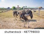Ostrich Birds On Ostrich Farm...
