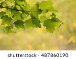 Sugar maple leaves turning against fall forest color background. Frame.