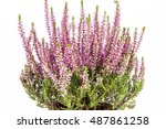 Flowers  Of Pink Calluna...