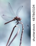 Small photo of Male Common Darter (Sympetrum striolatum) dragonfly in with wings splayed, isolated against plain bluish background.