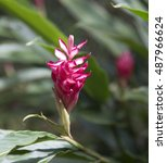 Small photo of Red Ginger or Ostrich Plume (Alpinia purpurata) on plant in the garden background