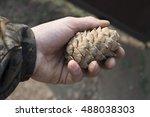 man hand holding cedar  pine ... | Shutterstock . vector #488038303