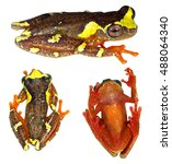 sarayacu treefrog ...   Shutterstock . vector #488064340