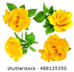 Yellow Rose Single Isolated On...