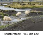 Three Icelandic Sheep Drinking...