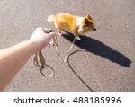 Stock photo shetland sheepdog on leash 488185996