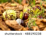 Conkers From Horse Chestnut...