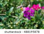 hummingbird hawk moth ... | Shutterstock . vector #488195878