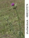 Small photo of flowered agrimony