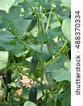 fruit cucumbers on a plant in a