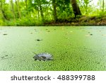 Duckweed Growing On A Dutch...