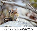 Little Chipmunk Resting On A...