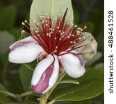 Small photo of Flower of Acca sellowiana (Feijoa), a species of plant in the myrtle family (Myrtaceae). It is native to the Brazil, Paraguay, Uruguay, Argentina, and Colombia