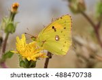 Small photo of A stunning Clouded yellow Butterfly (Colias croceus) necturing on a yellow flower.