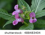 Flowers From Impatiens...