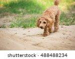 Poodle Dog Walking 3